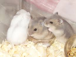 winter white dwarf hamster babies