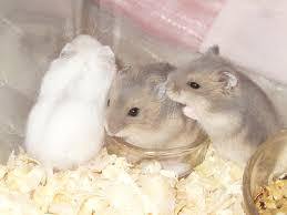 winter white dwarf hamster babies � hamsters portal