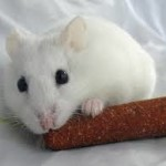 winter white dwarf hamsterspets at home
