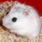 winter white russian dwarf hamster breeding