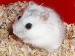 winter white dwarf hamster breeders