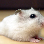 dwarf winter white russian hamsters cost