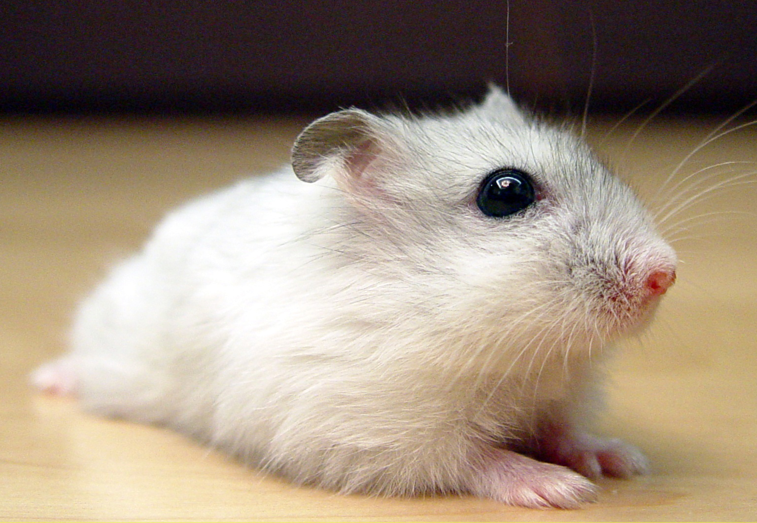 russian winter white dwarf hamsters