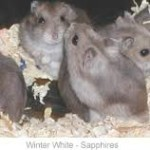 dwarf winter white russian hamsters pets at home