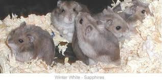 russian winter white dwarf hamster care