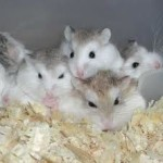 dwarf winter white russian hamsters as pets