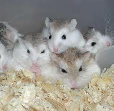 breeding winter white russian dwarf hamsters