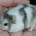 winter white dwarf hamstersfor sale
