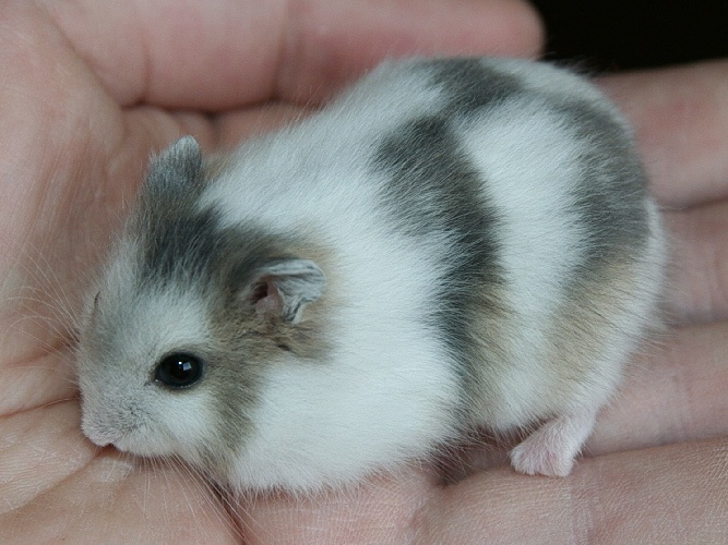 winter white dwarf hamster breeding