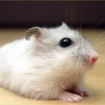 winter white dwarf hamster biting