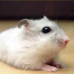 winter white dwarf hamster biting