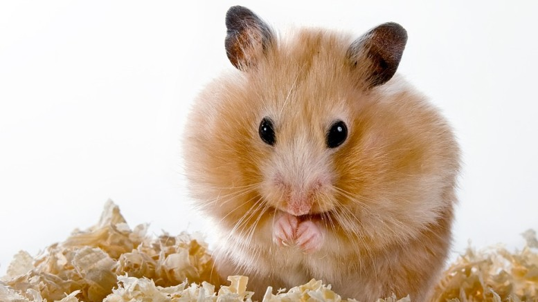 Diet for Hamsters