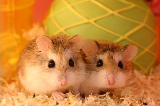 Common hamster health problems