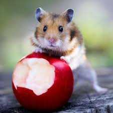 can a hamster eat apples
