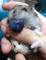 do hamsters eat blueberries