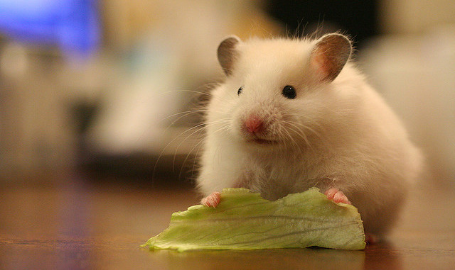 can a hamster eat lettuce