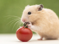 can hamsters eat tomato sauce