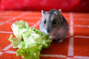 doeshamsters eat lettuce