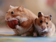 can dwarfhamsters eat strawberries