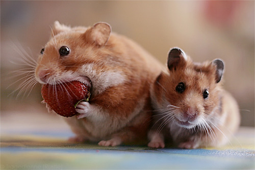 can dwarf hamsters eat strawberries