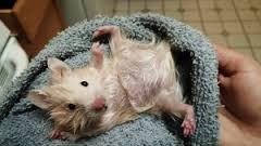 how tobathe a hamster
