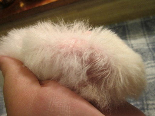 Reasons Your Hamster Could Be Losing Hair Hamsters Portal