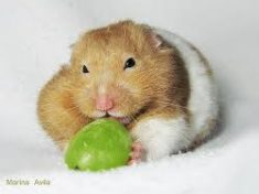 can dwarf hamsters eat grapes
