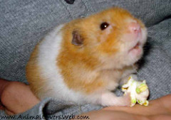 can hamsters eat plain popcorn