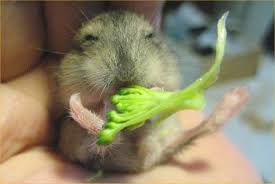 can hamsters eat uncooked broccoli