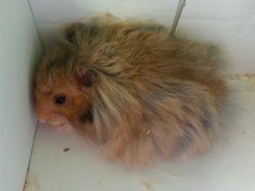 hamster has fleas