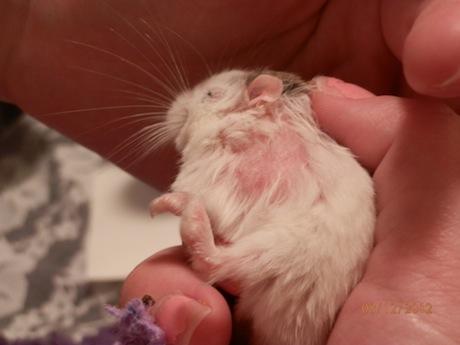 hamster have fleas