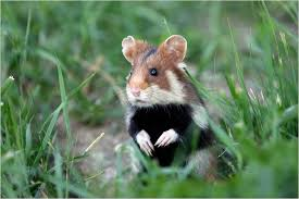 Ciscaucasian hamster 1
