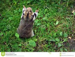 Ciscaucasian hamster 2
