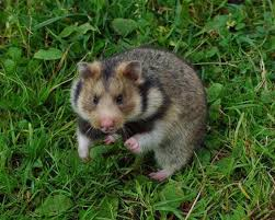Ciscaucasian hamster 4
