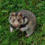 Ciscaucasian hamster