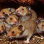 Mesocricetus Hamsters