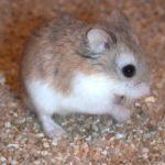 Mongolian Hamsters