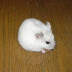 Phodopus Hamsters