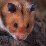 Romanian hamster