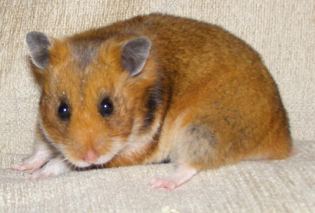 Turkish hamster, Mesocricetus brandti