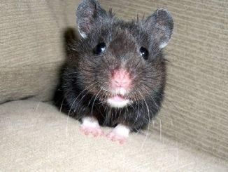 Black Bear Hamster