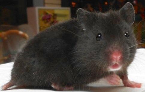 Black Fancy Bear Hamster