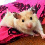 Cream Fancy Hamster Pictures