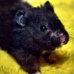 European Black Bear Hamster