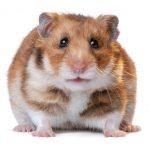 Fancy Bear Syrian Hamster